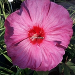Hibiscus x moscheutos Berry Awesome (1)