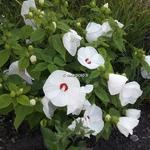 Hibiscus moscheutos Blanc coeur rouge