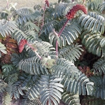 Melianthus major (6)