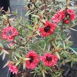 Leptospermum scoparium Crimson Glory