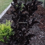 Lagerstroemia indica Black Solitaire Blush