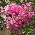 Lagerstroemia indica Rose Fuchsia