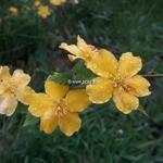 Kerria japonica Golden Guinea