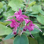 Epimedium grandiflorum Rose Queen (1)