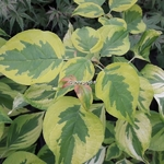 Cornus alternifolia Golden Shadows (4)