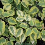 Cornus alternifolia Golden Shadows (3)