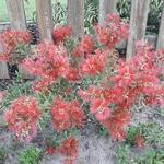 Callistemon Mini red