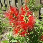 Callistemon Mini Red (3)