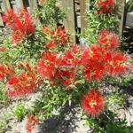 Callistemon Mini Red (2)