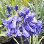 Agapanthus Flower of Love (5)