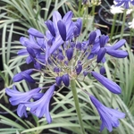 Agapanthus Flower of Love (1)