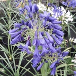 Agapanthus Flower of Love (2)