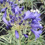 Agapanthus Flower of Love (3)