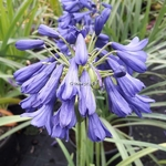 Agapanthus Flower of Love (4)