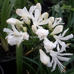 Agapanthus Little Dutch White