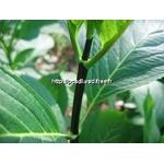 l_hydrangea%20macrophylla%20nigra%20(2)
