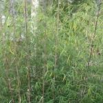 Borinda angustissima (3)