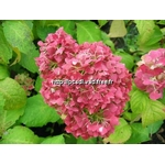 l_hydrangea%20macrophylla%20nymphe