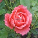 Rosa Briosa (2)