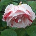 Rosa Scentimental (2)