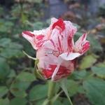 Rosa Scentimental (3)