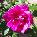 Rosa rugosa Exception (1)