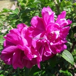 Rosa rugosa Exception (2)