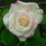 Rosa Moonstone