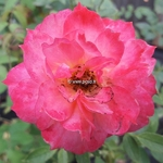 Rosa Briosa