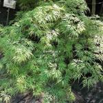 Acer palmatum Dissectum Emerald Lace (1)