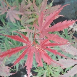 Acer palmatum Jerre Schwartz (2)
