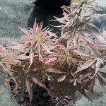 Acer palmatum Jerre Schwartz (3)