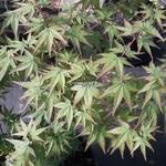 Acer palmatum Kiyohime (1)