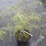 Acer palmatum Koto no Ito (1)