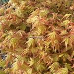 Acer palmatum Orange Dream (1)