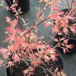 Acer palmatum Wilsons Pink Dwarf