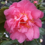 Camellia Fragrant Pink (2)