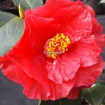 Camellia japonica Holly Bright