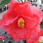 Camellia japonica Holly Bright (3)