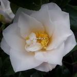Camellia japonica Lilian Ricketts