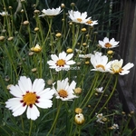 Coreopsis Star Cluster (2)