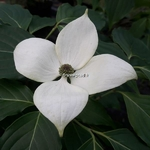 Cornus kousa China Girl (1)
