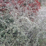 Cotoneaster franchettii