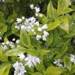 Deutzia gracilis Aureovariegata (1)
