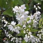 Deutzia gracilis Aureovariegata (2)