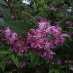 Deutzia hybrida Perle Rose (1)
