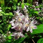 Deutzia hybrida Raspberry Sundae (1)