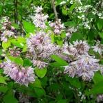 Deutzia hybrida Raspberry Sundae (4)