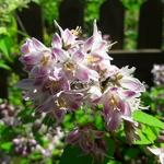 Deutzia hybrida Raspberry Sundae (2)