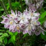 Deutzia hybrida Raspberry Sundae (3)